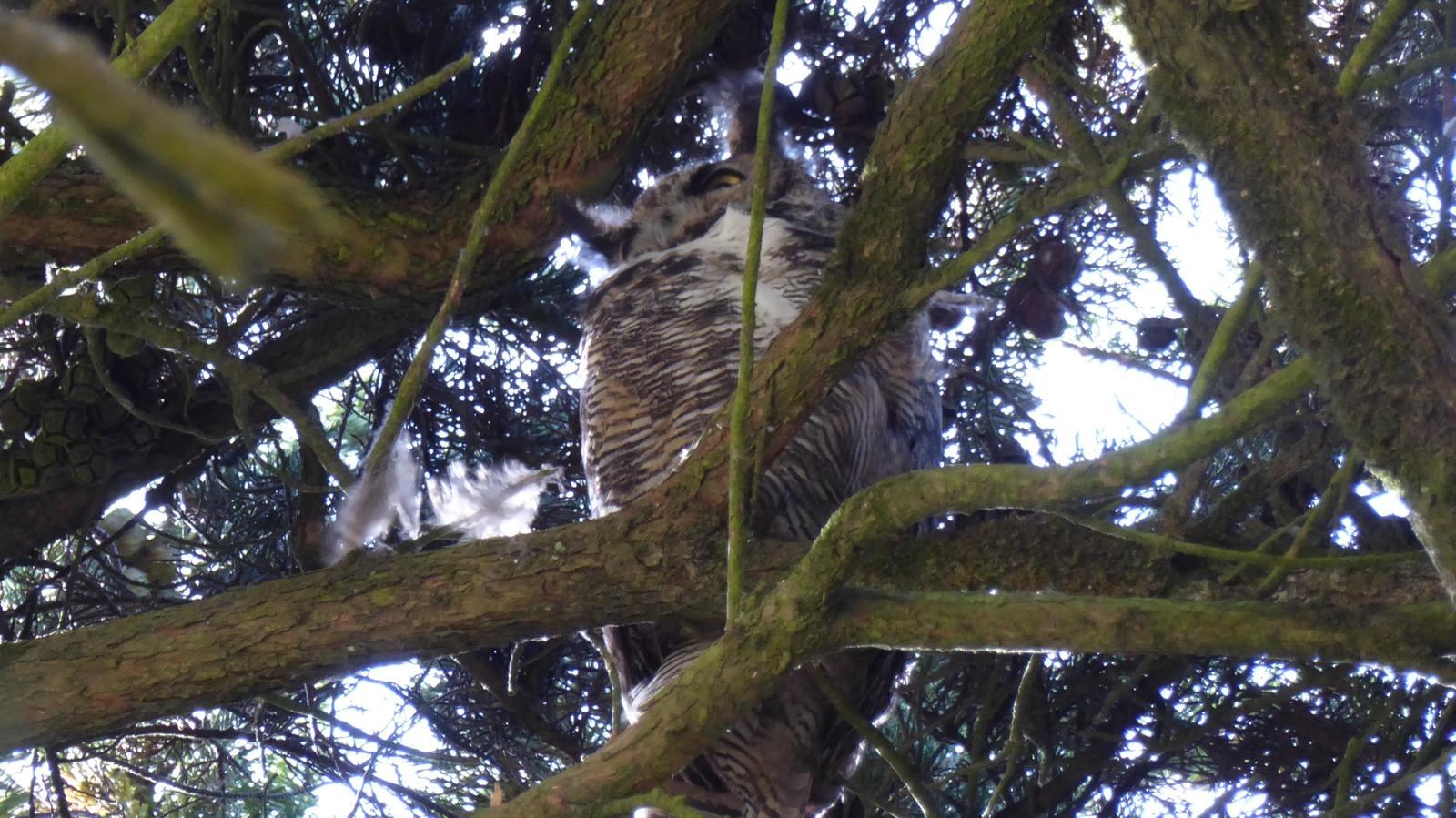 Great Horned Owl Photo by Daliel Leite