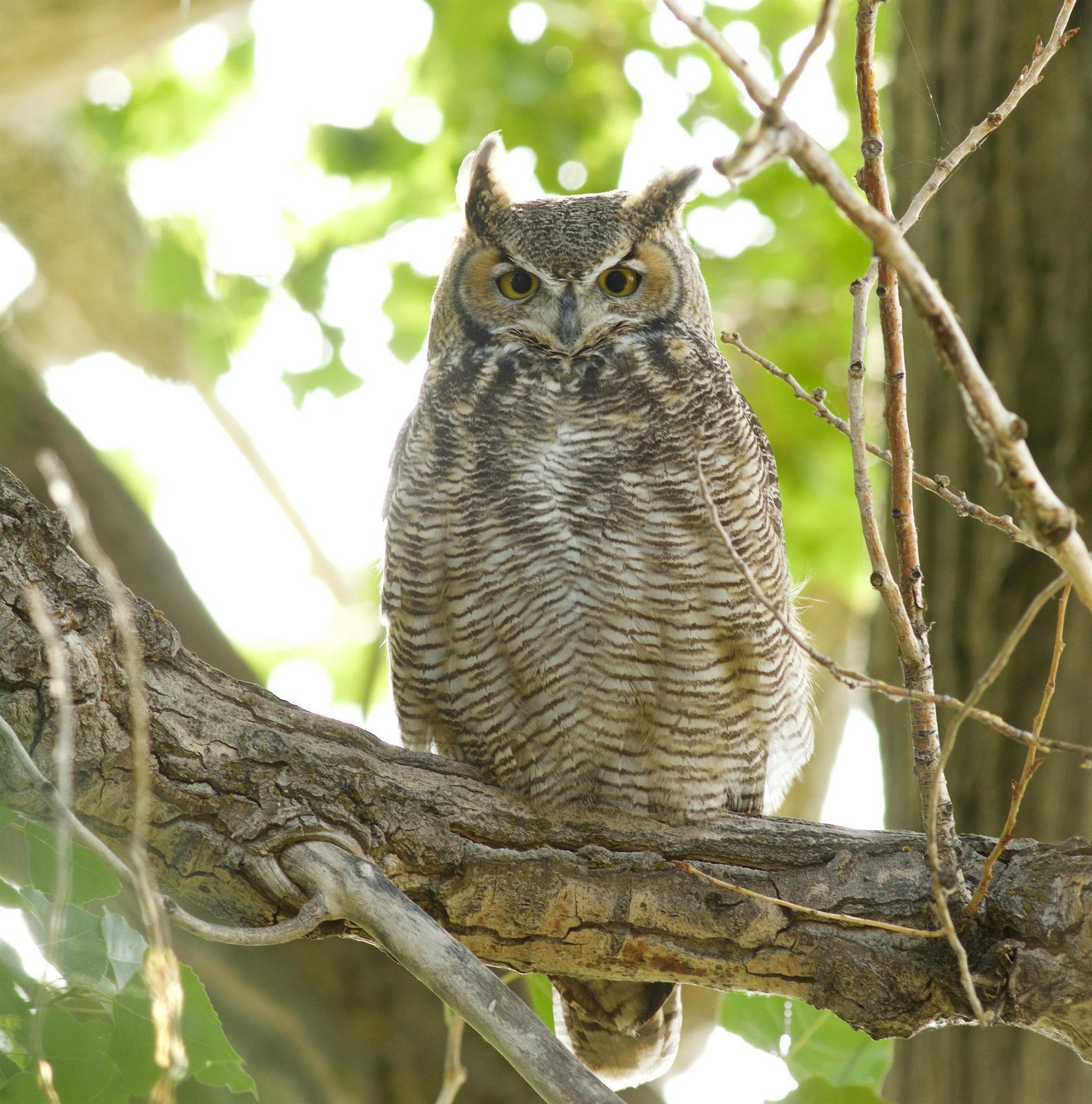 Great Horned Owl Photo by Kathryn Keith