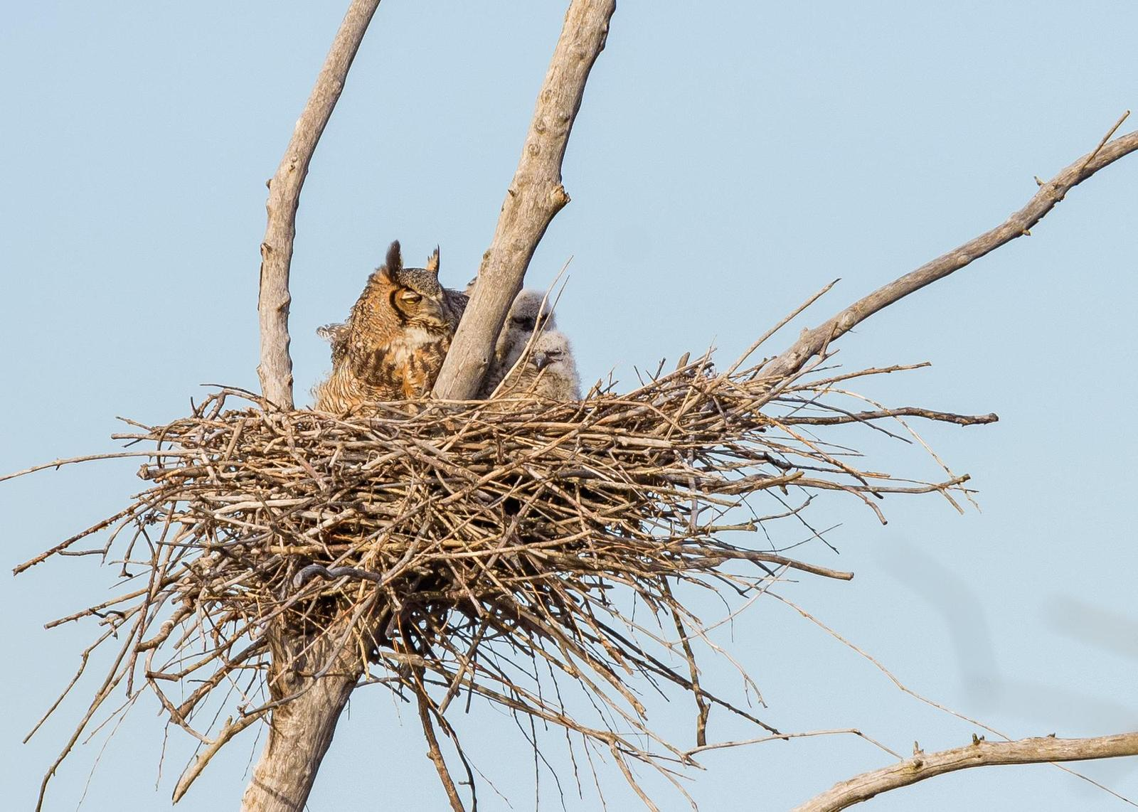 Great Horned Owl Photo by Keshava Mysore