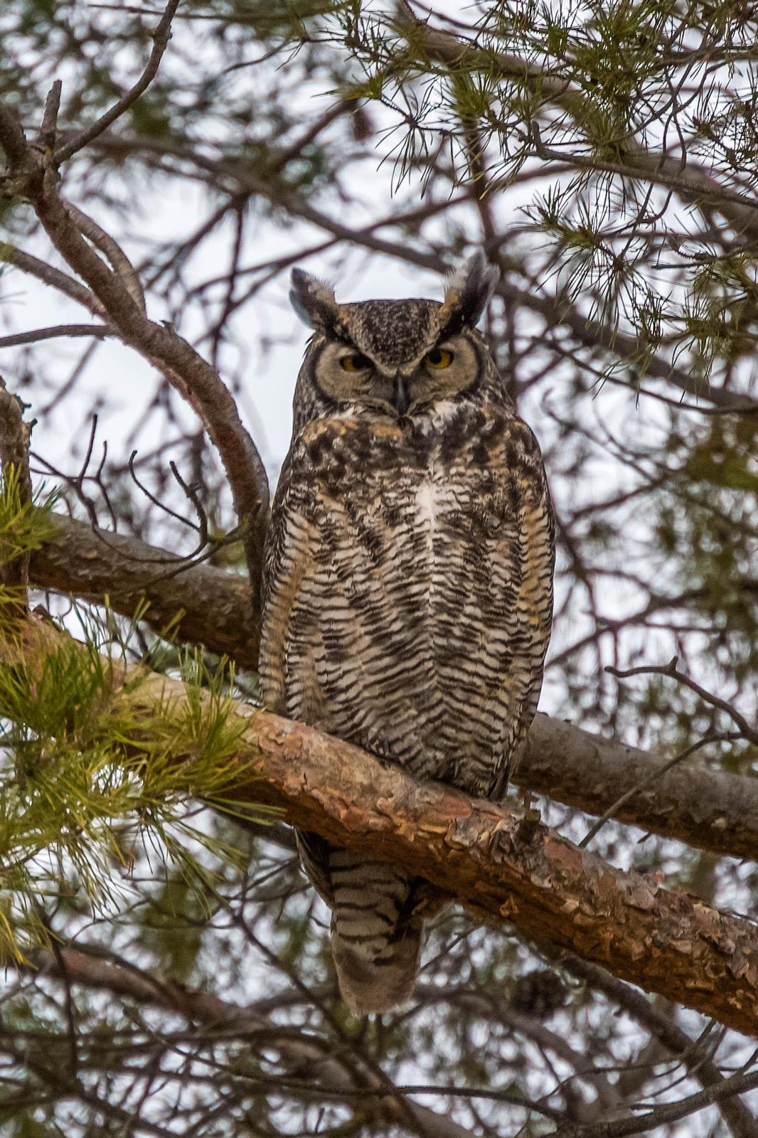 Great Horned Owl Photo by Scott Yerges