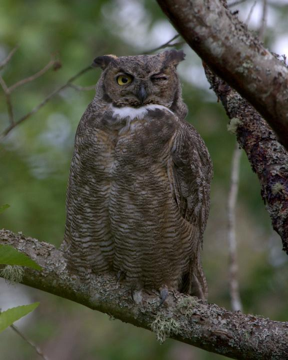 Great Horned Owl Photo by Mat Gilfedder