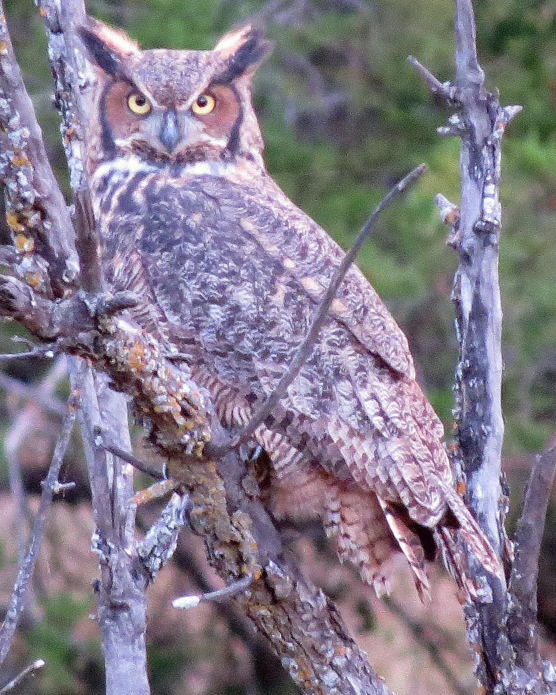 Great Horned Owl Photo by Kelly Preheim