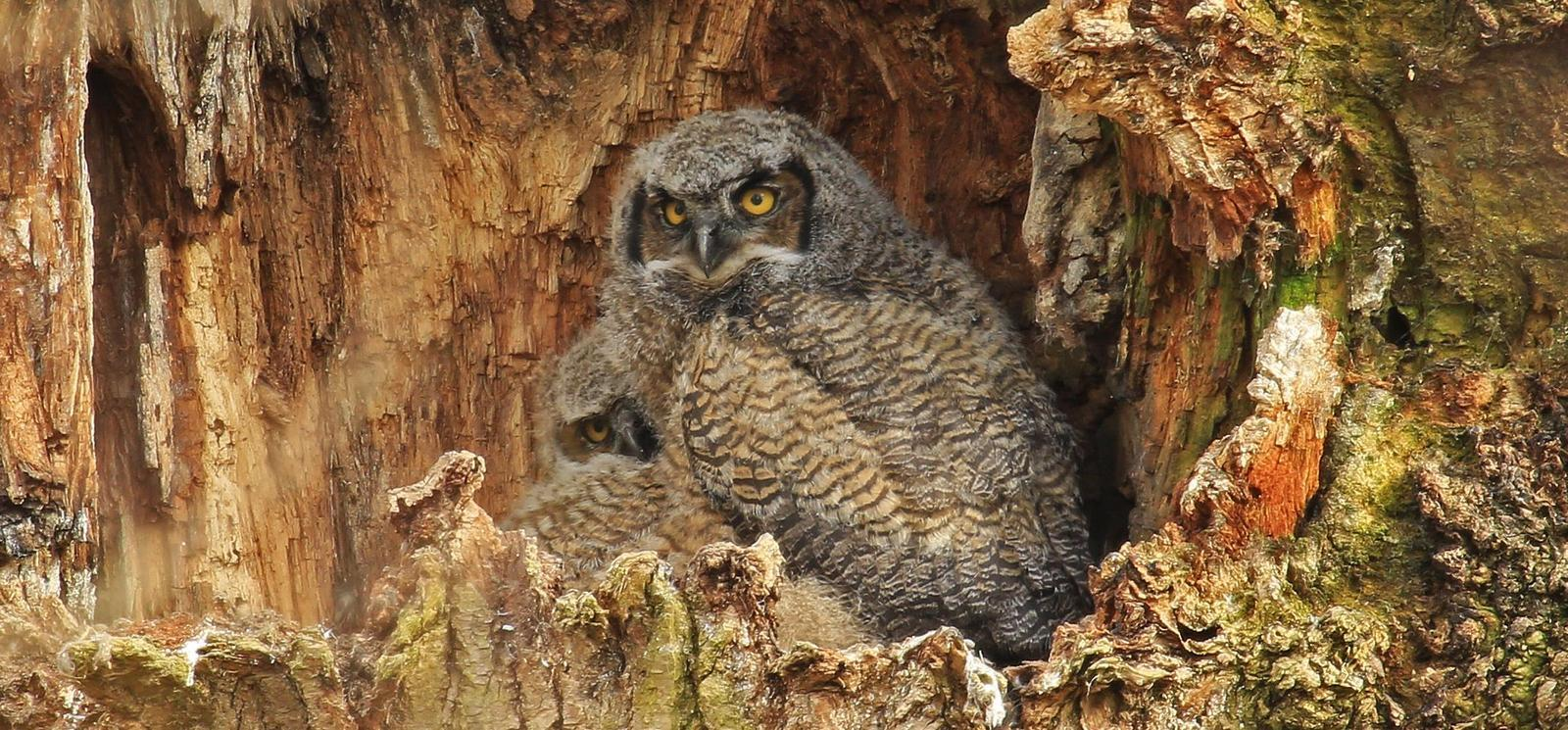 Great Horned Owl Photo by Jim  Murray