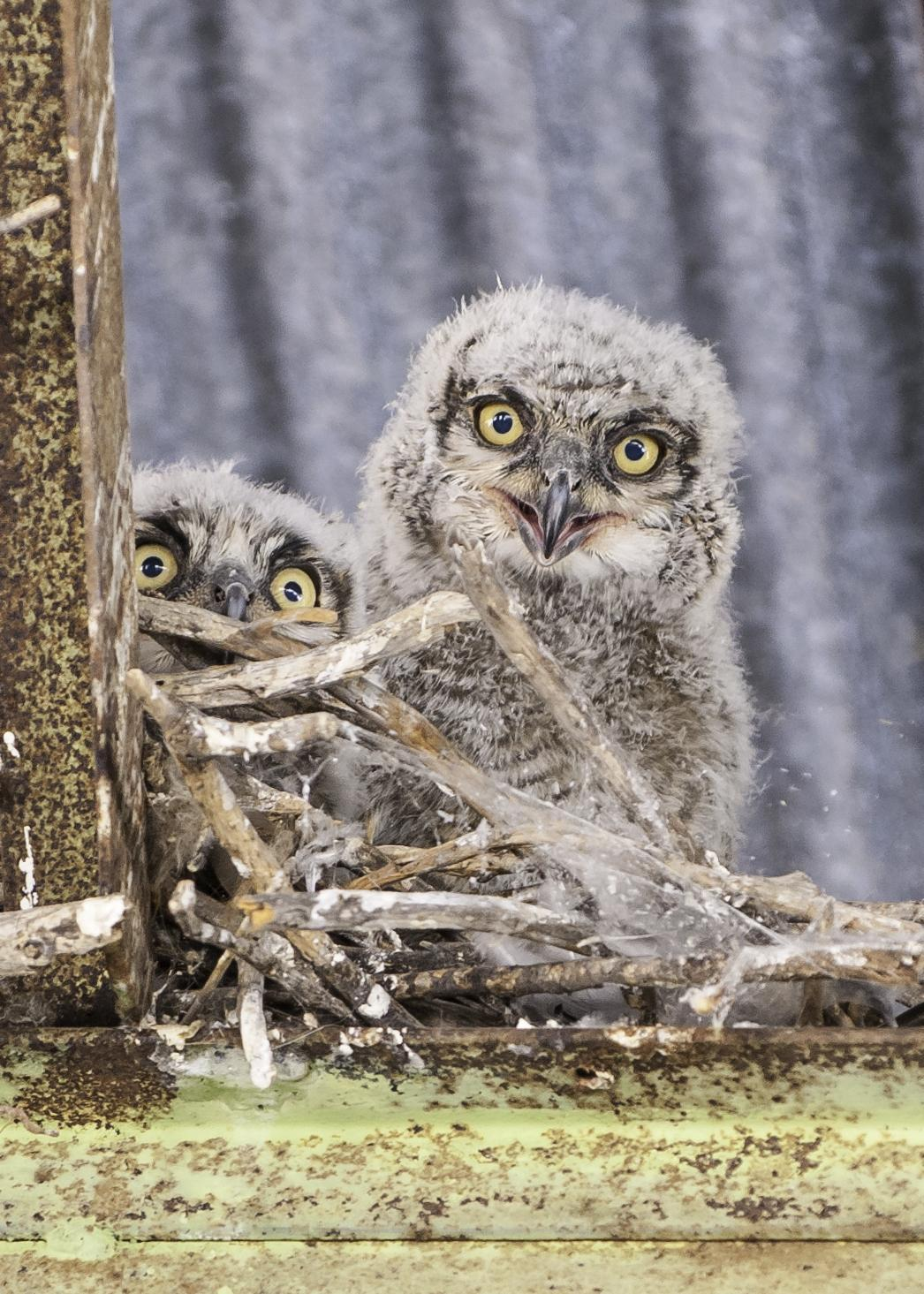 Great Horned Owl Photo by Mason Rose