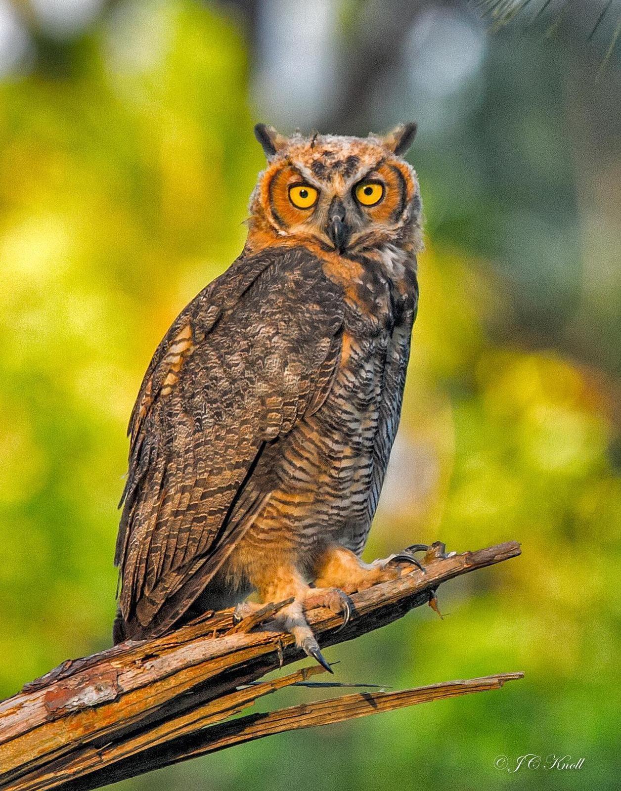 Great Horned Owl Photo by JC Knoll