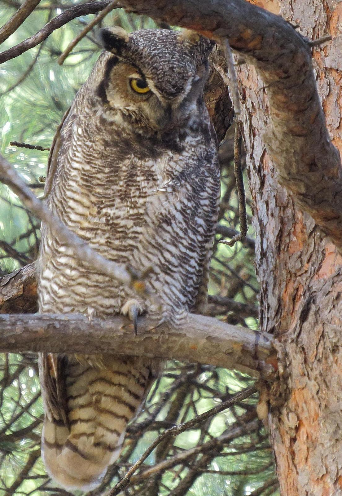Great Horned Owl Photo by Kent Jensen