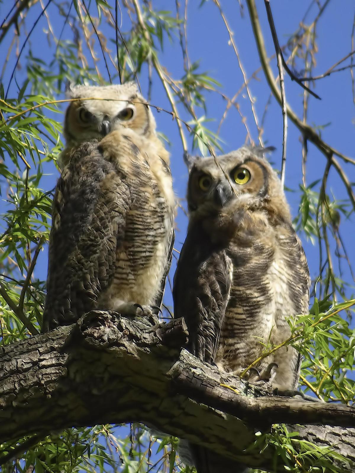 Great Horned Owl Photo by Dan Tallman