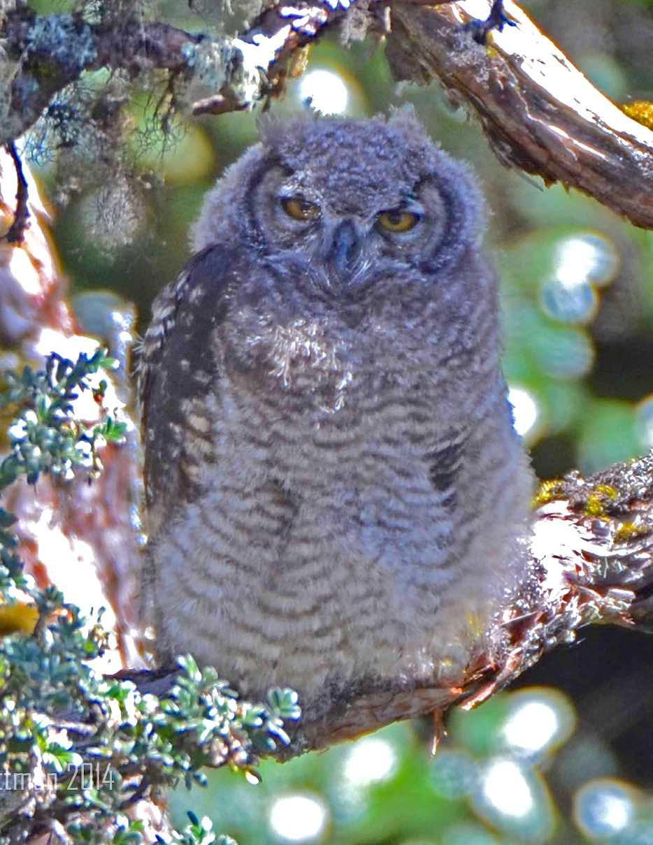 Great Horned Owl Photo by Andrew Pittman