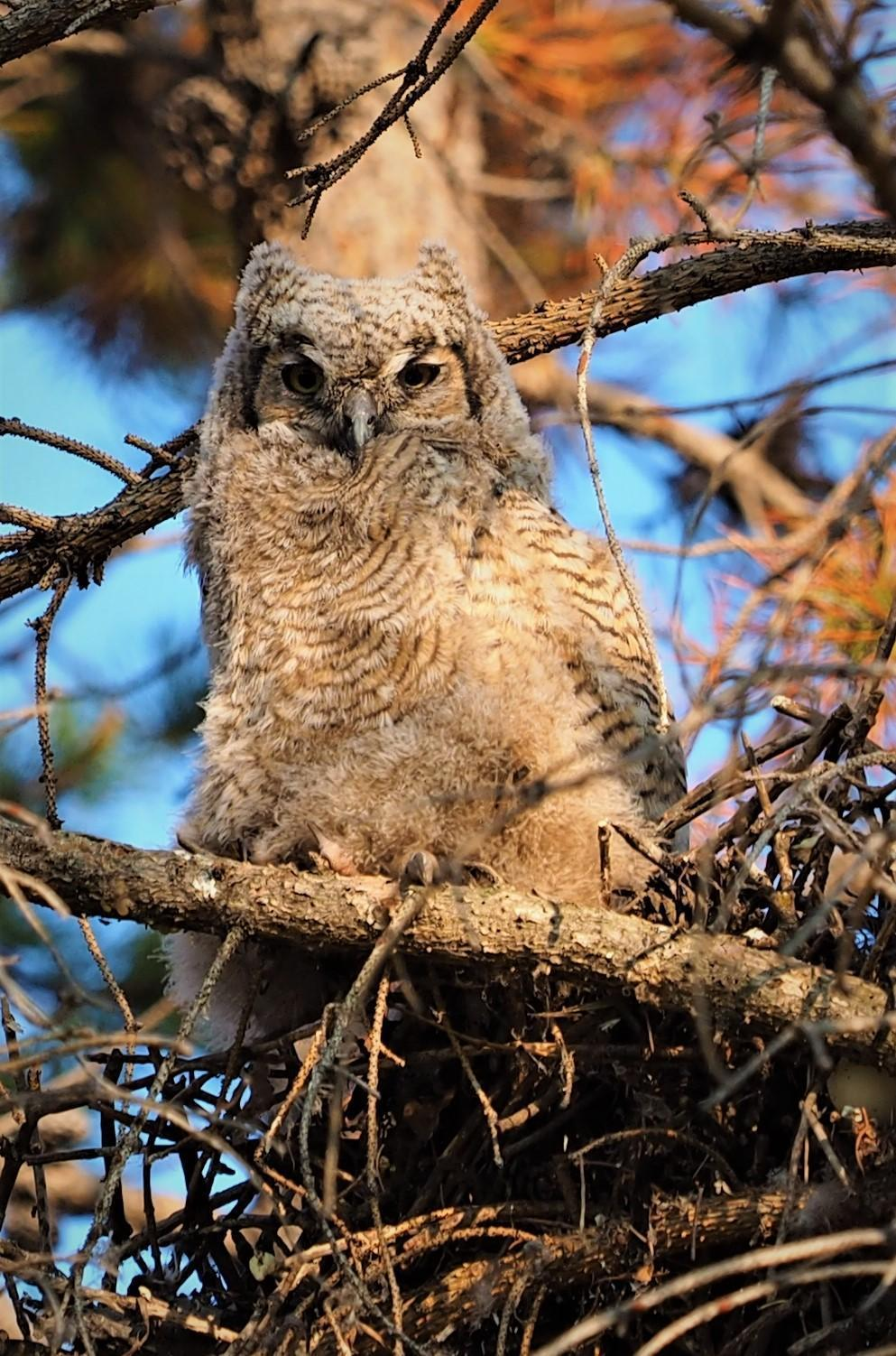 Great Horned Owl Photo by Colin Hill
