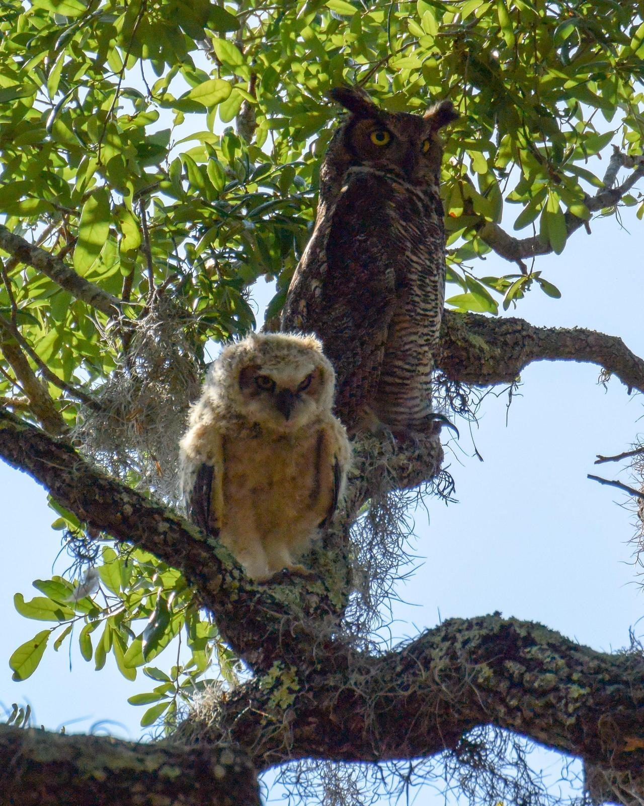 Great Horned Owl Photo by Emily Percival