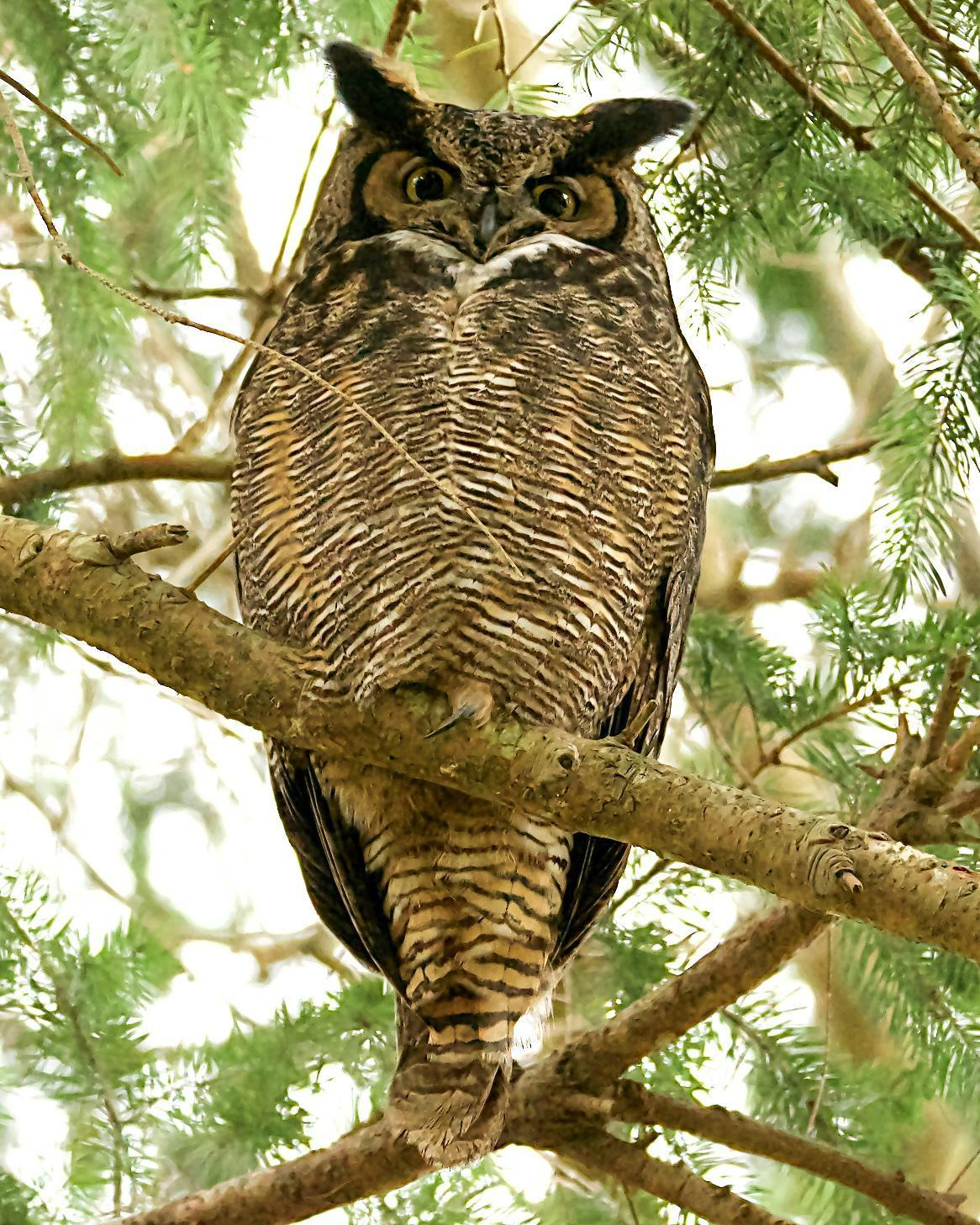 Great Horned Owl Photo by Brian Avent