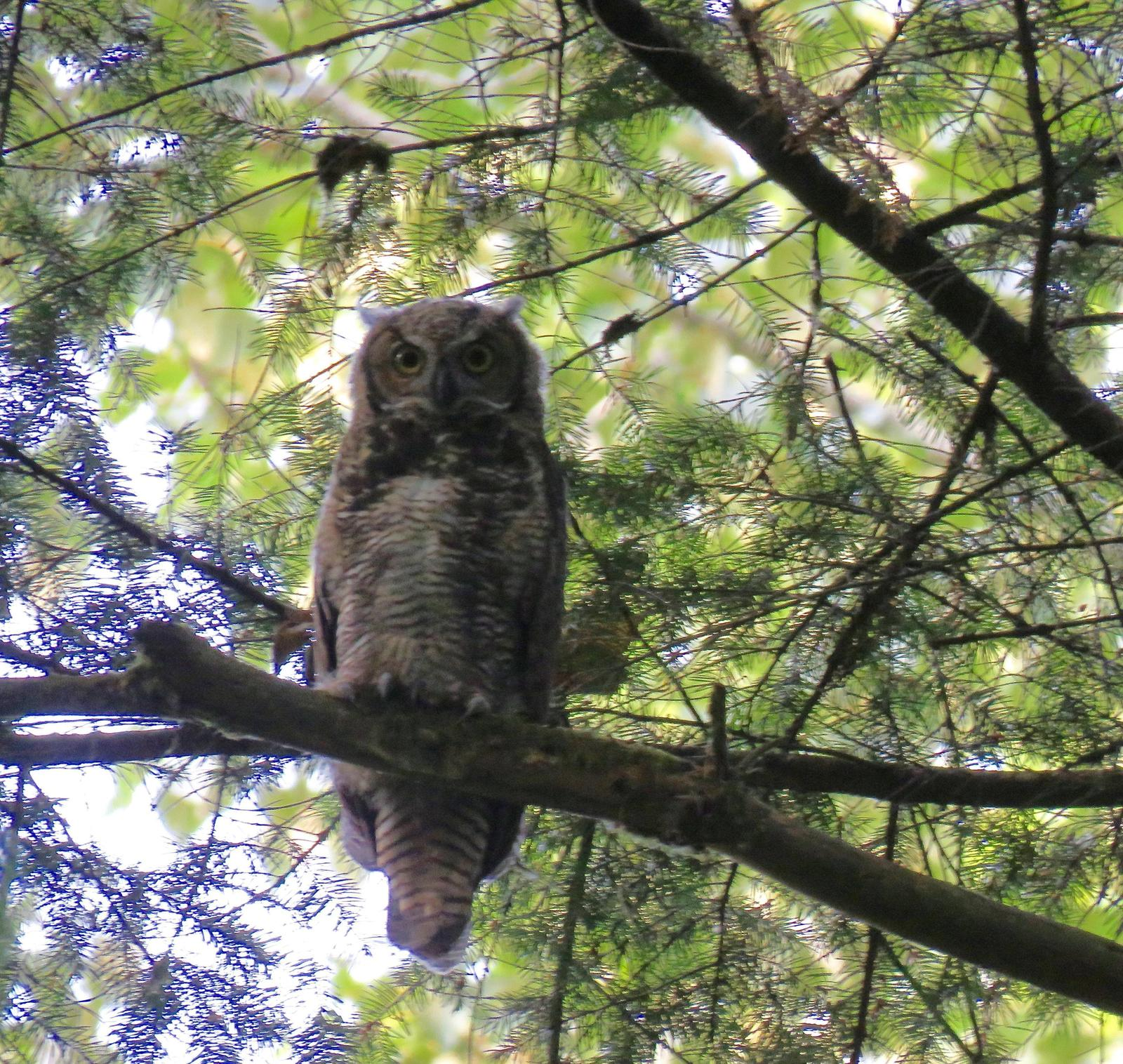 Great Horned Owl (Great Horned) Photo by Ted Goshulak