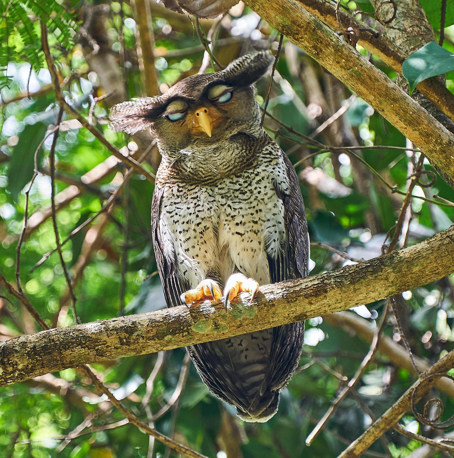 Barred Eagle-Owl Photo by Steven Cheong