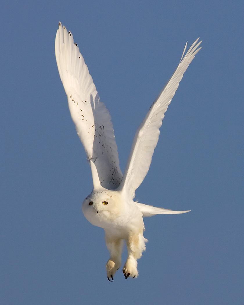 Snowy Owl Photo by Josh Haas
