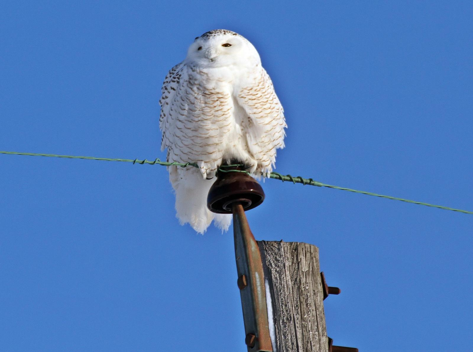 Snowy Owl Photo by Andrew Theus
