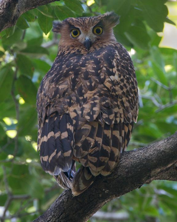 Tawny Fish-Owl Photo by David Bishop