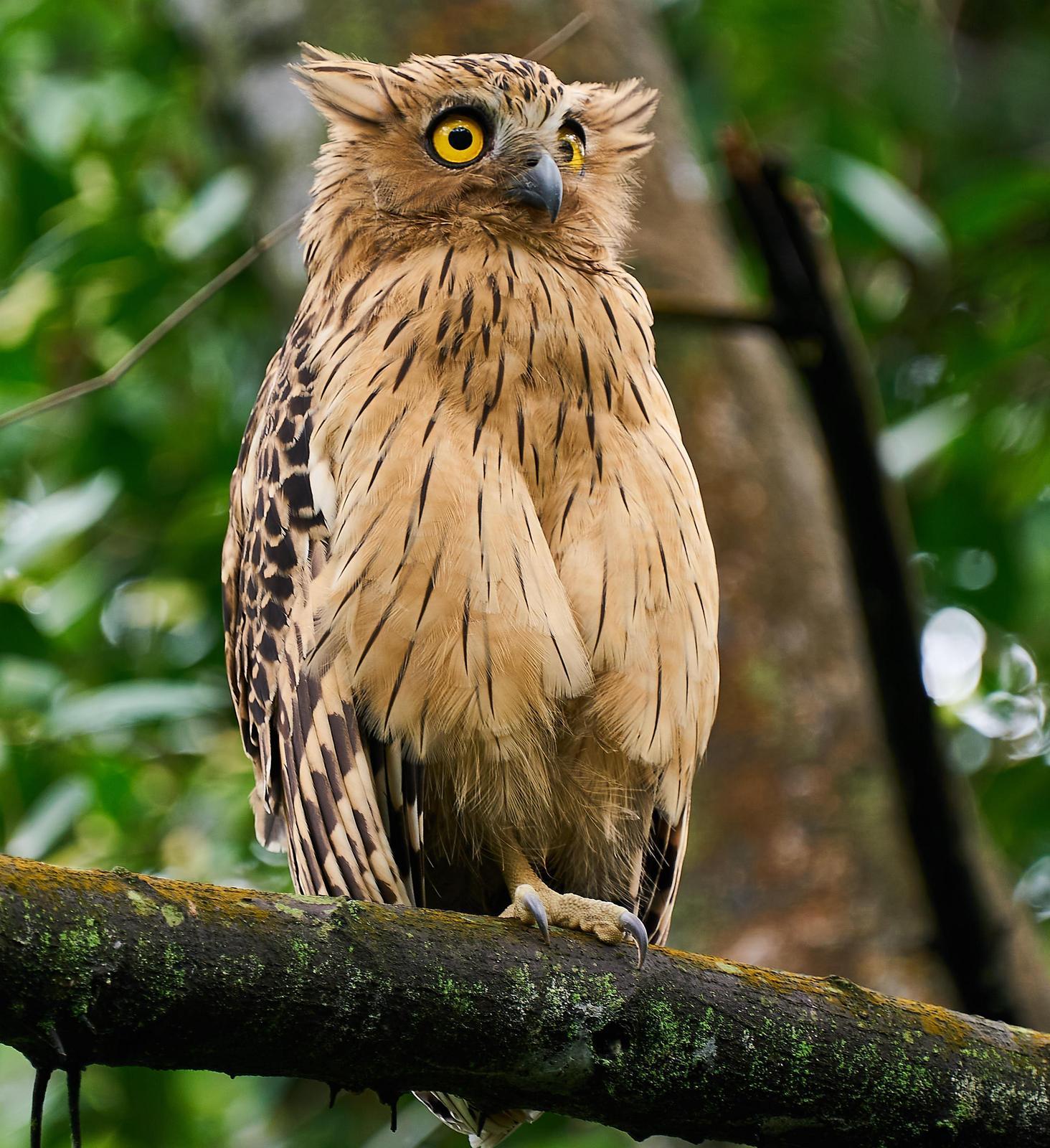 Buffy Fish-Owl Photo by Steven Cheong