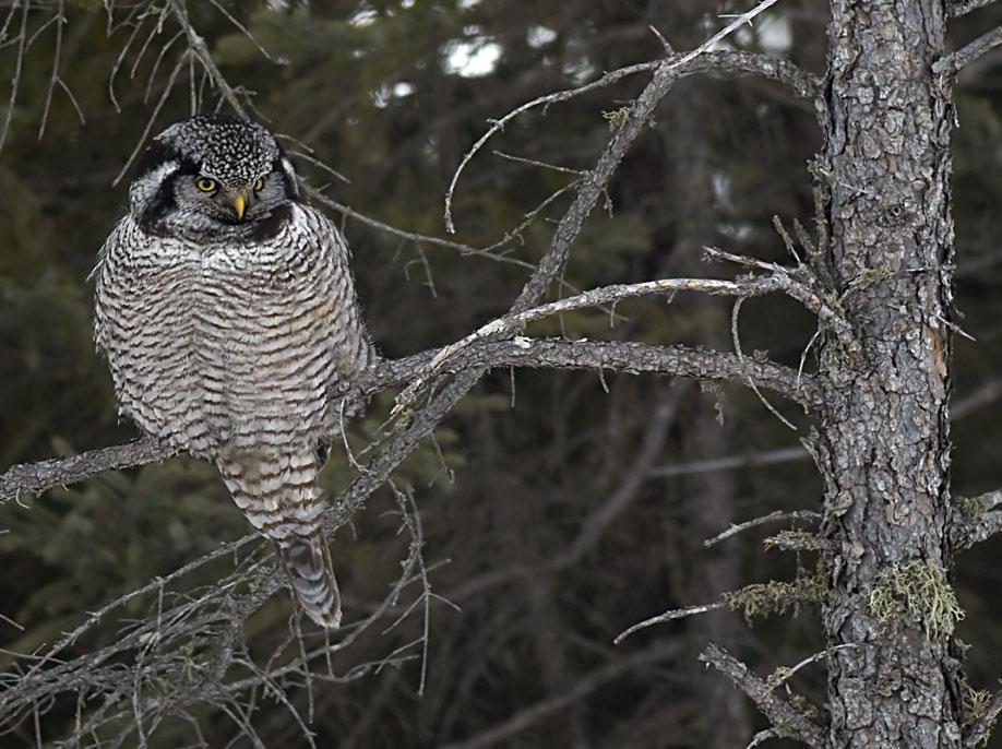 Northern Hawk Owl Photo by Dan Tallman