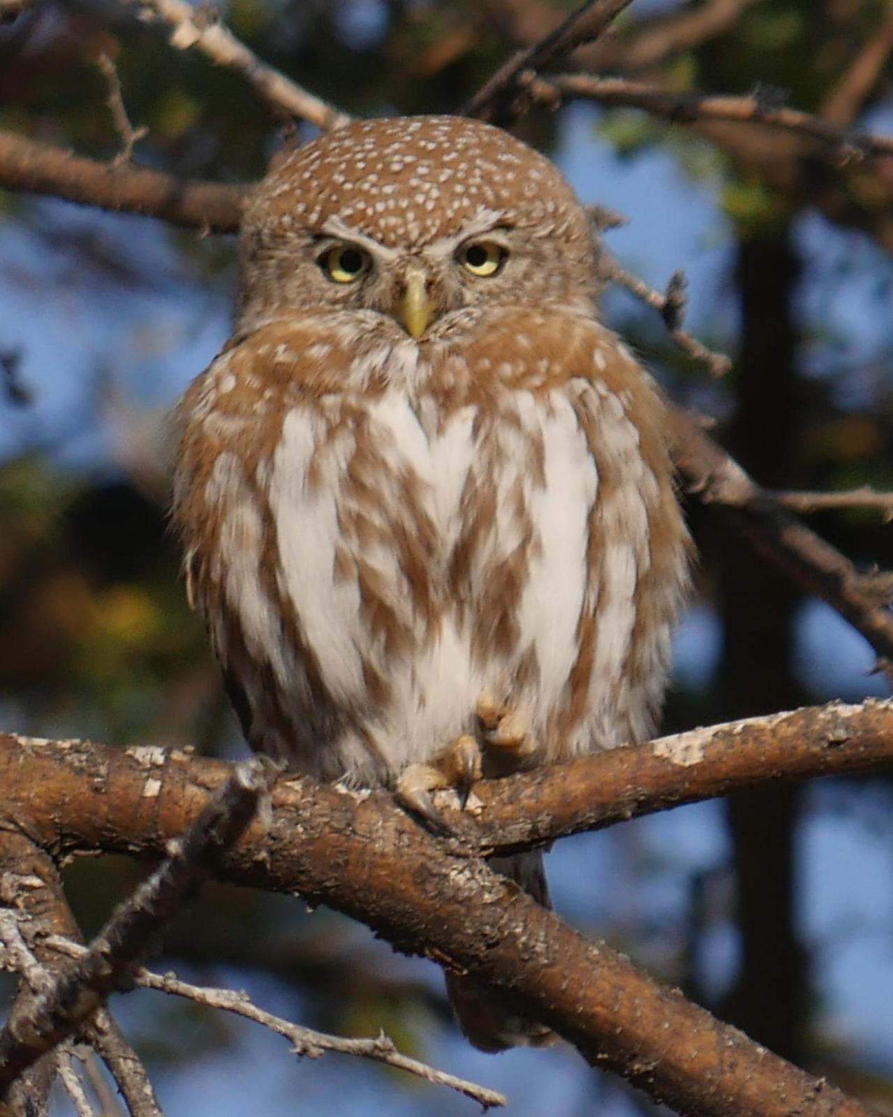 Pearl-spotted Owlet Photo by Peter Lowe