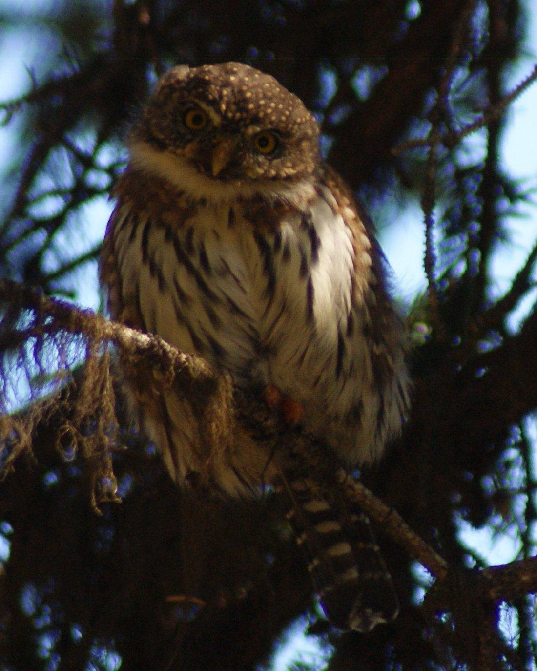 Northern Pygmy-Owl Photo by Robin Oxley