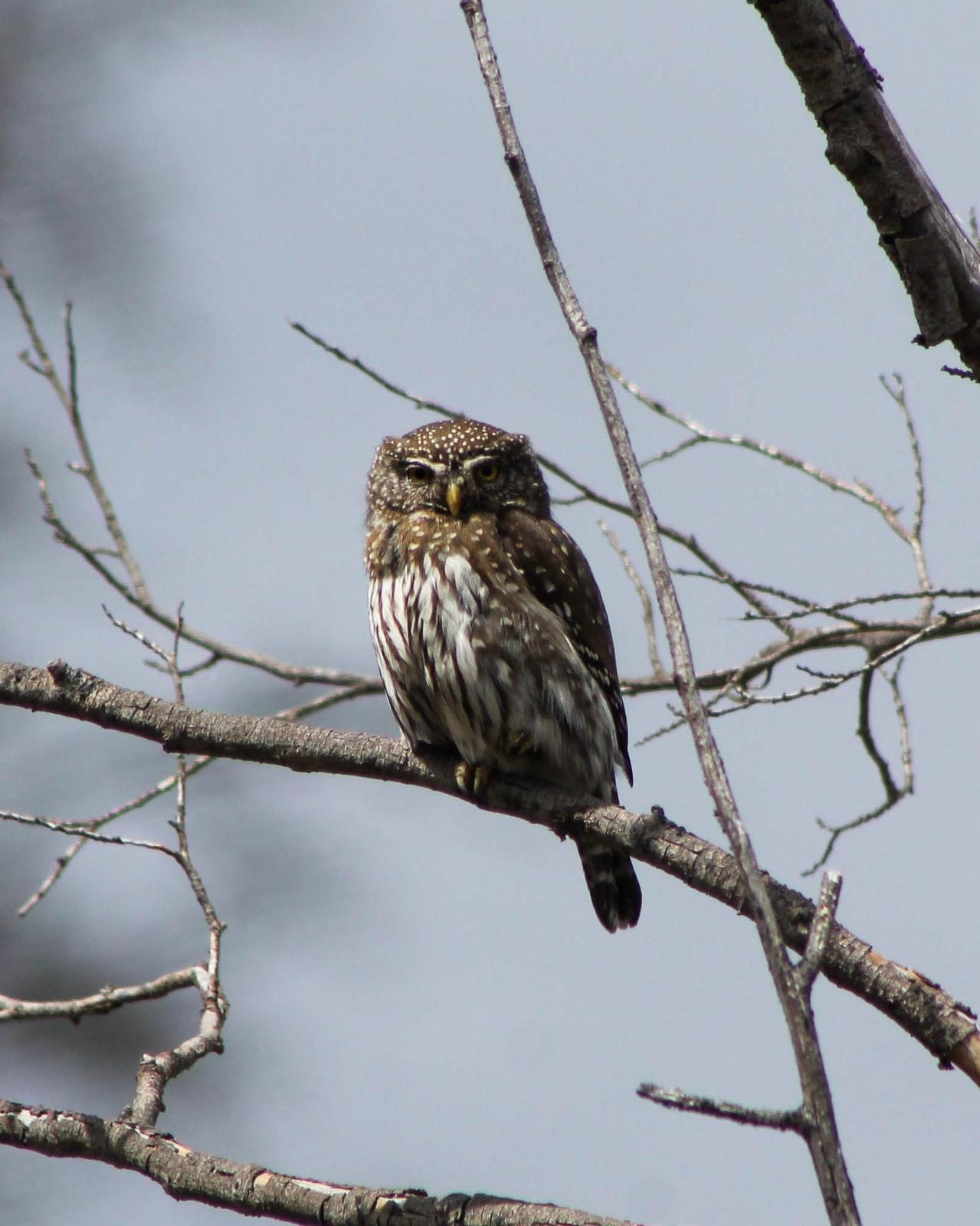 Northern Pygmy-Owl Photo by Roy Morris