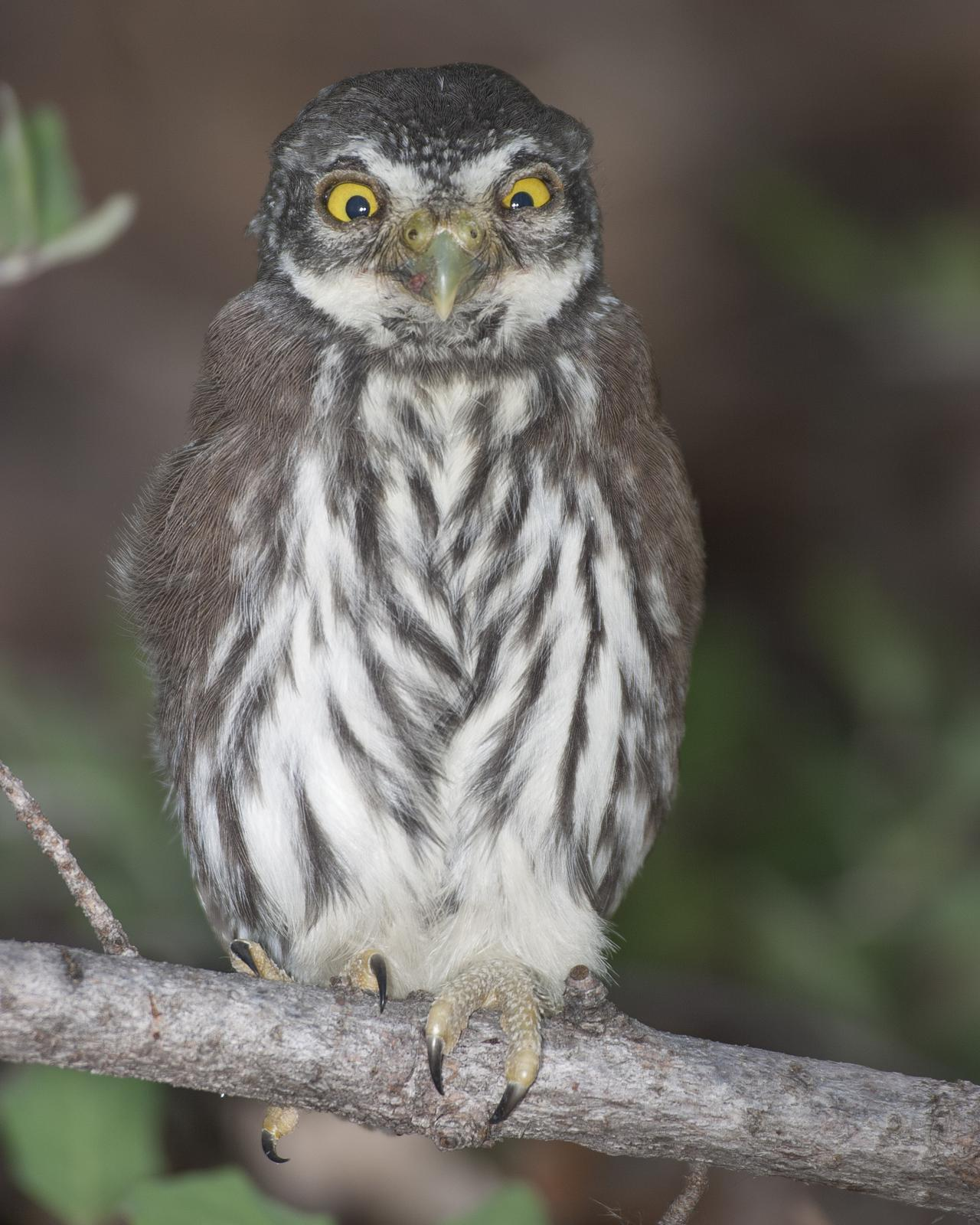 Northern Pygmy-Owl Photo by Jeff Moore
