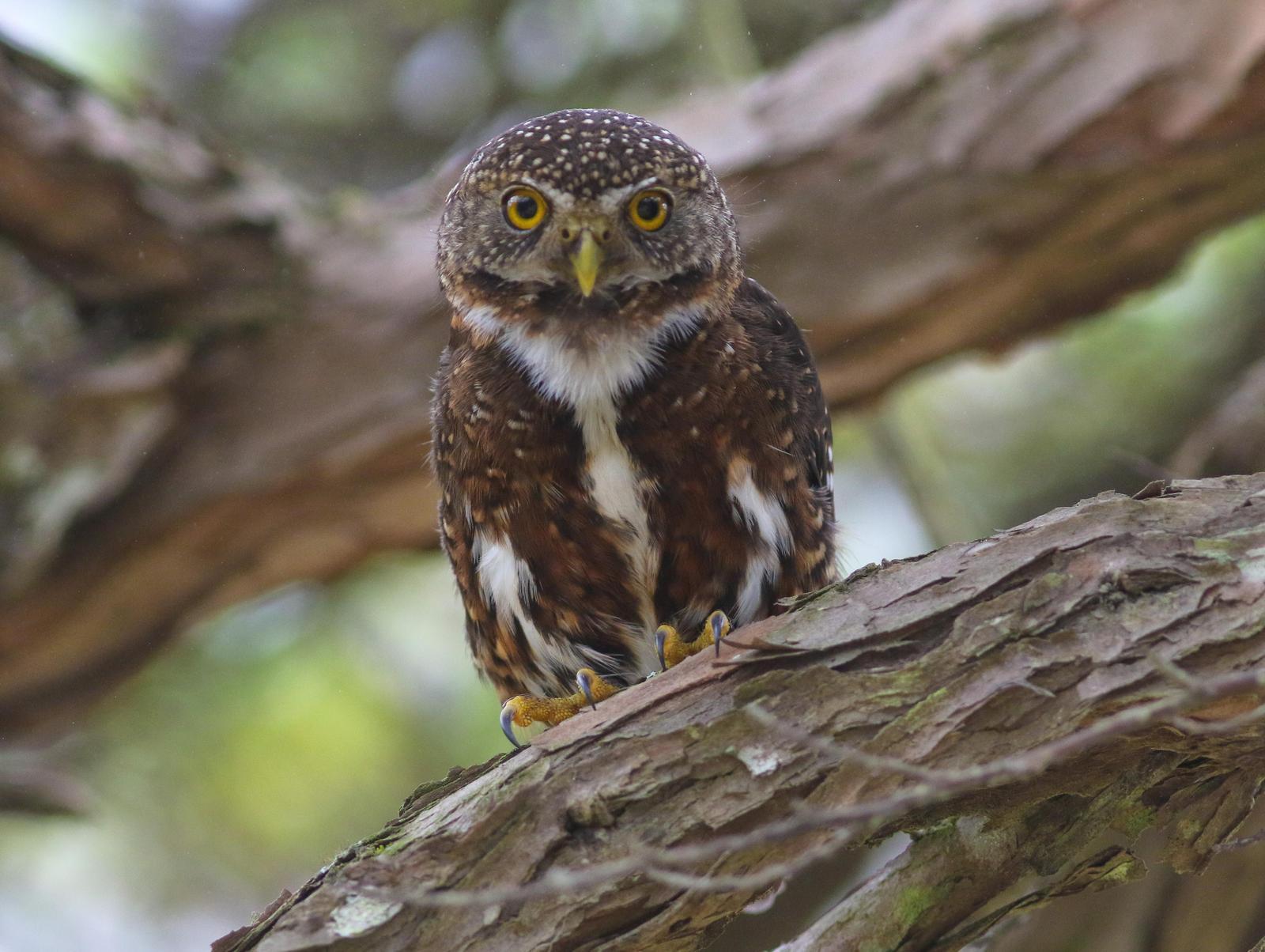 Costa Rican Pygmy-Owl Photo by Leonardo Garrigues