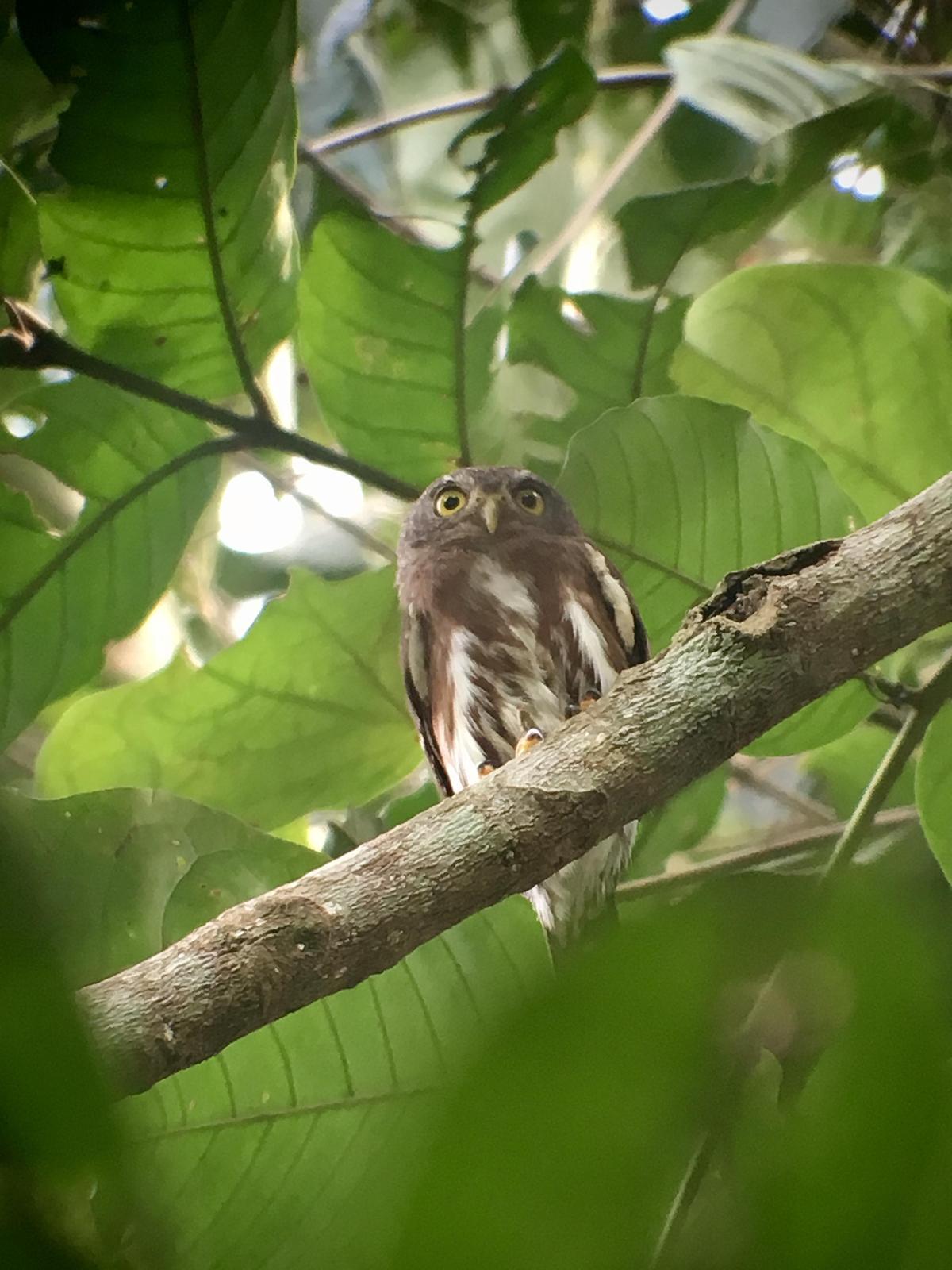 Amazonian Pygmy-Owl Photo by Leonardo Garrigues