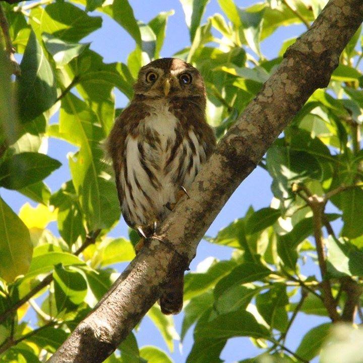 Ferruginous Pygmy-Owl Photo by Karlo Antonio Soto Huerta