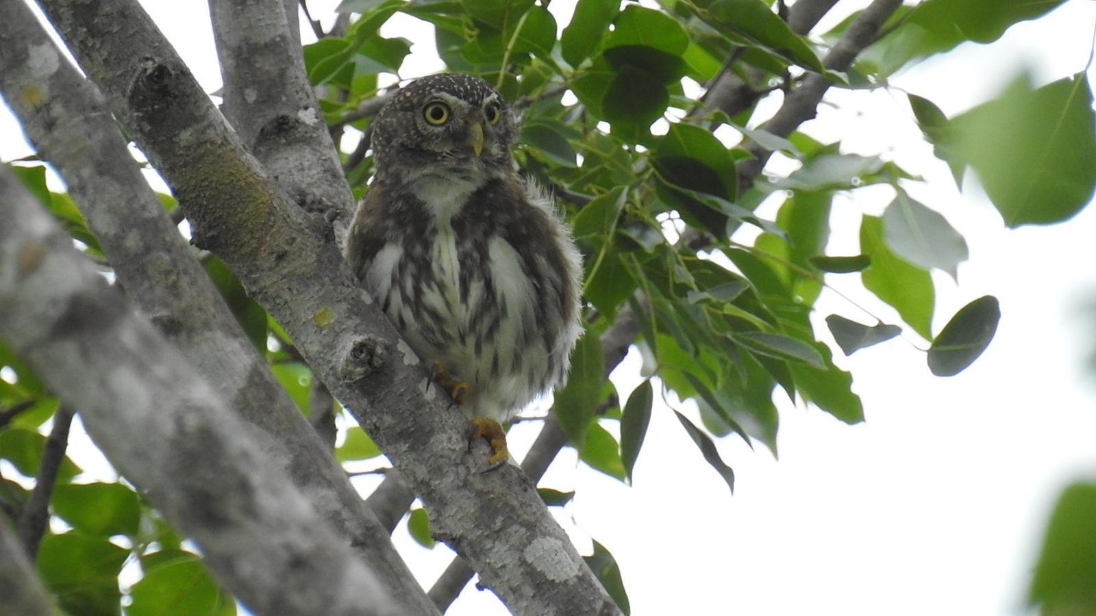 Ferruginous Pygmy-Owl Photo by Julio Delgado