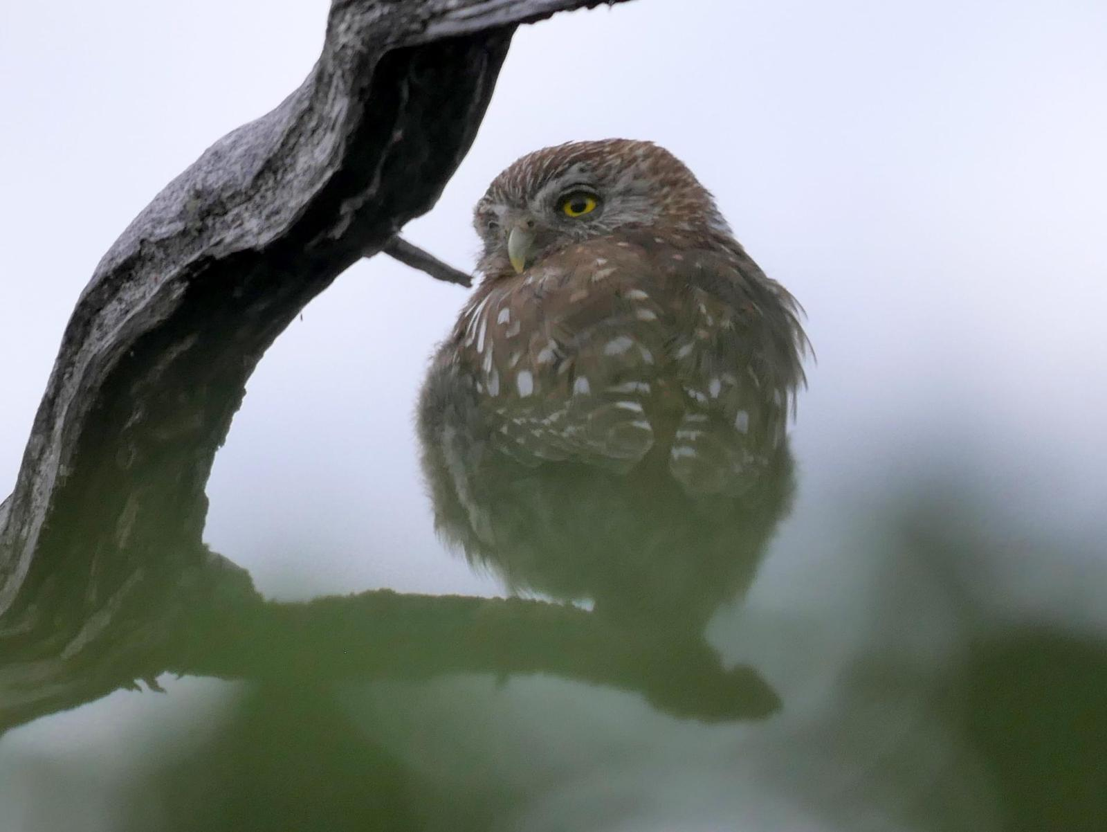 Austral Pygmy-Owl Photo by Peter Lowe