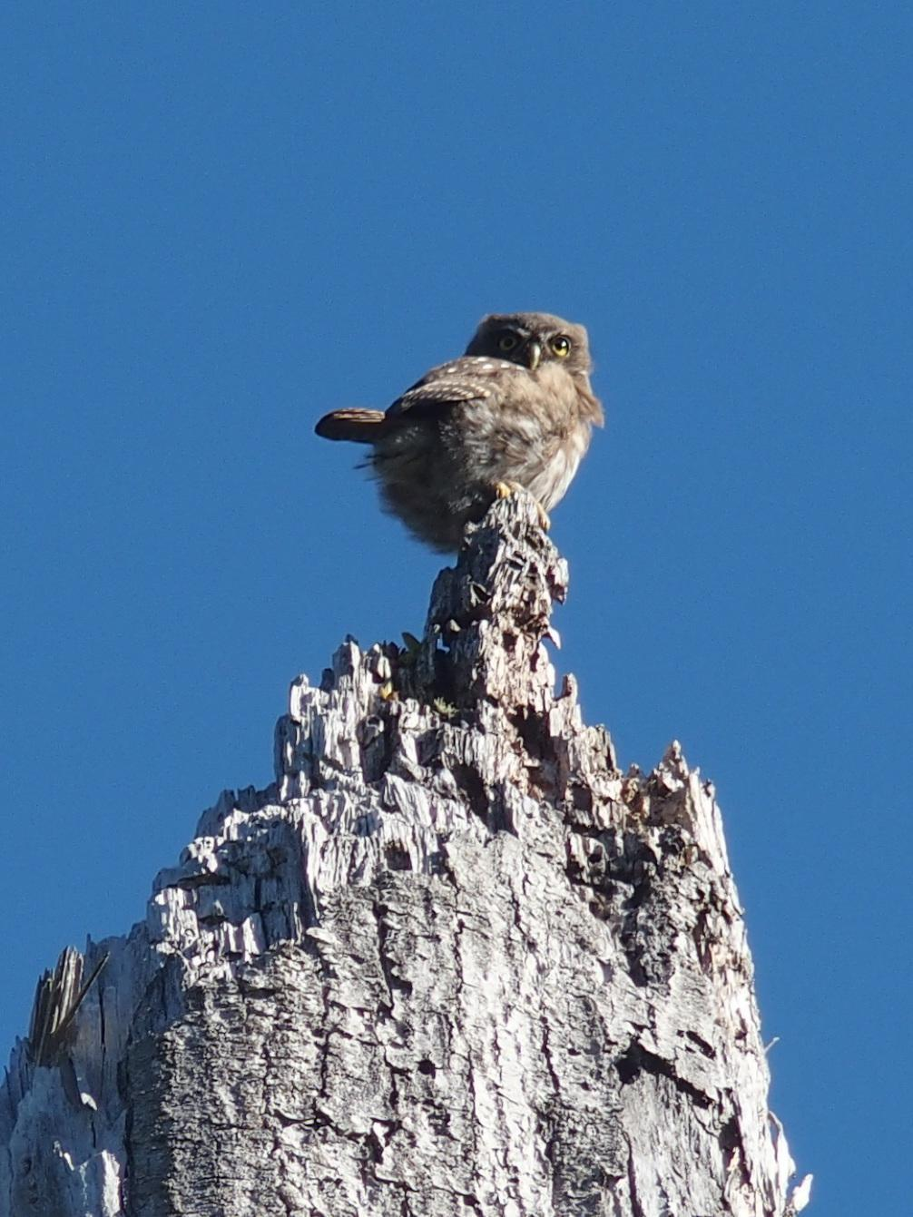 Austral Pygmy-Owl Photo by Montserrat Lara