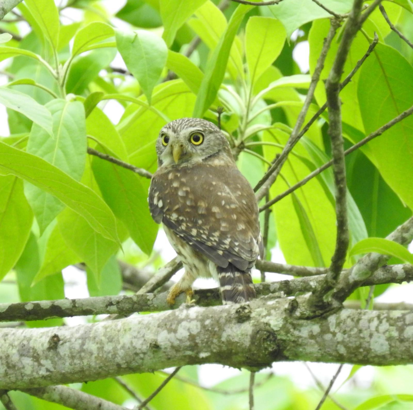 Peruvian Pygmy-Owl Photo by John Licharson