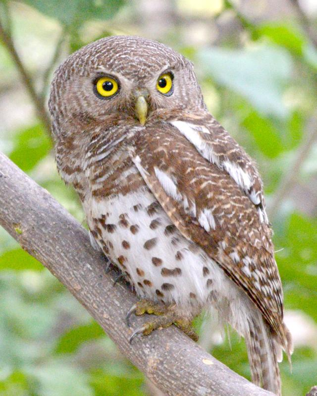 African Barred Owlet Photo by George Mayfield