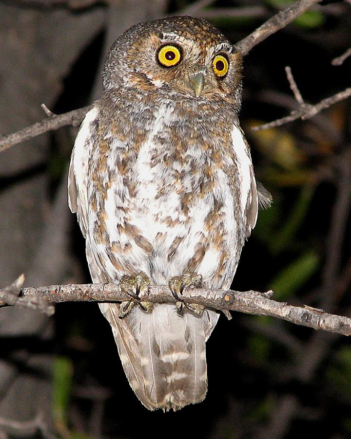 Elf Owl Photo by Robert Behrstock