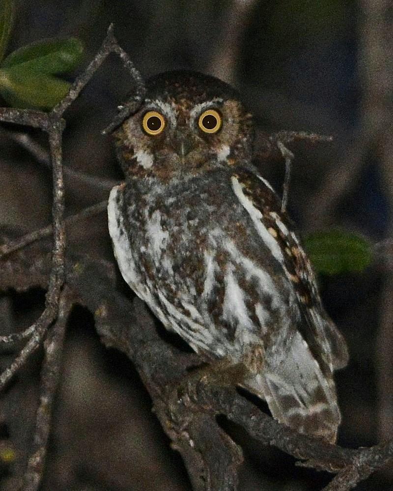 Elf Owl Photo by David Hollie