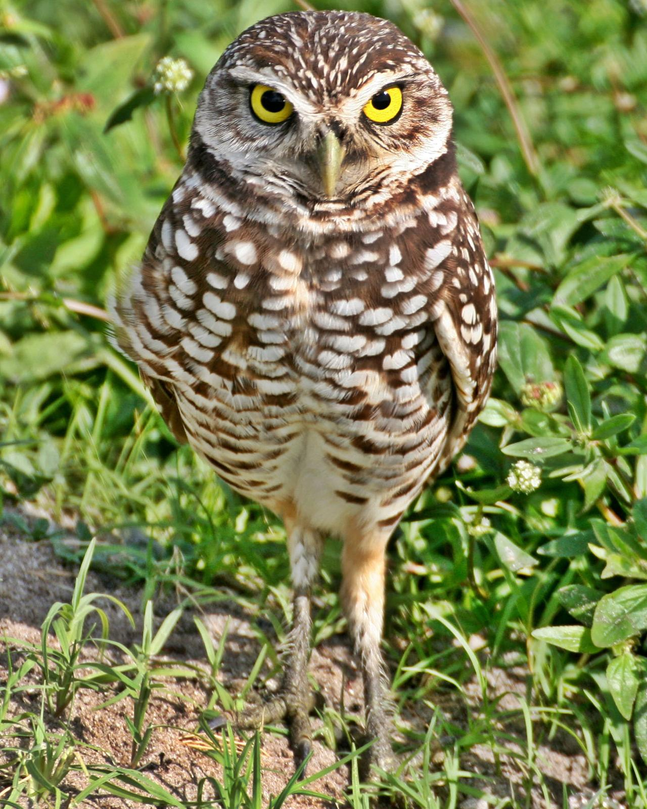 Burrowing Owl Photo by Andrew Theus