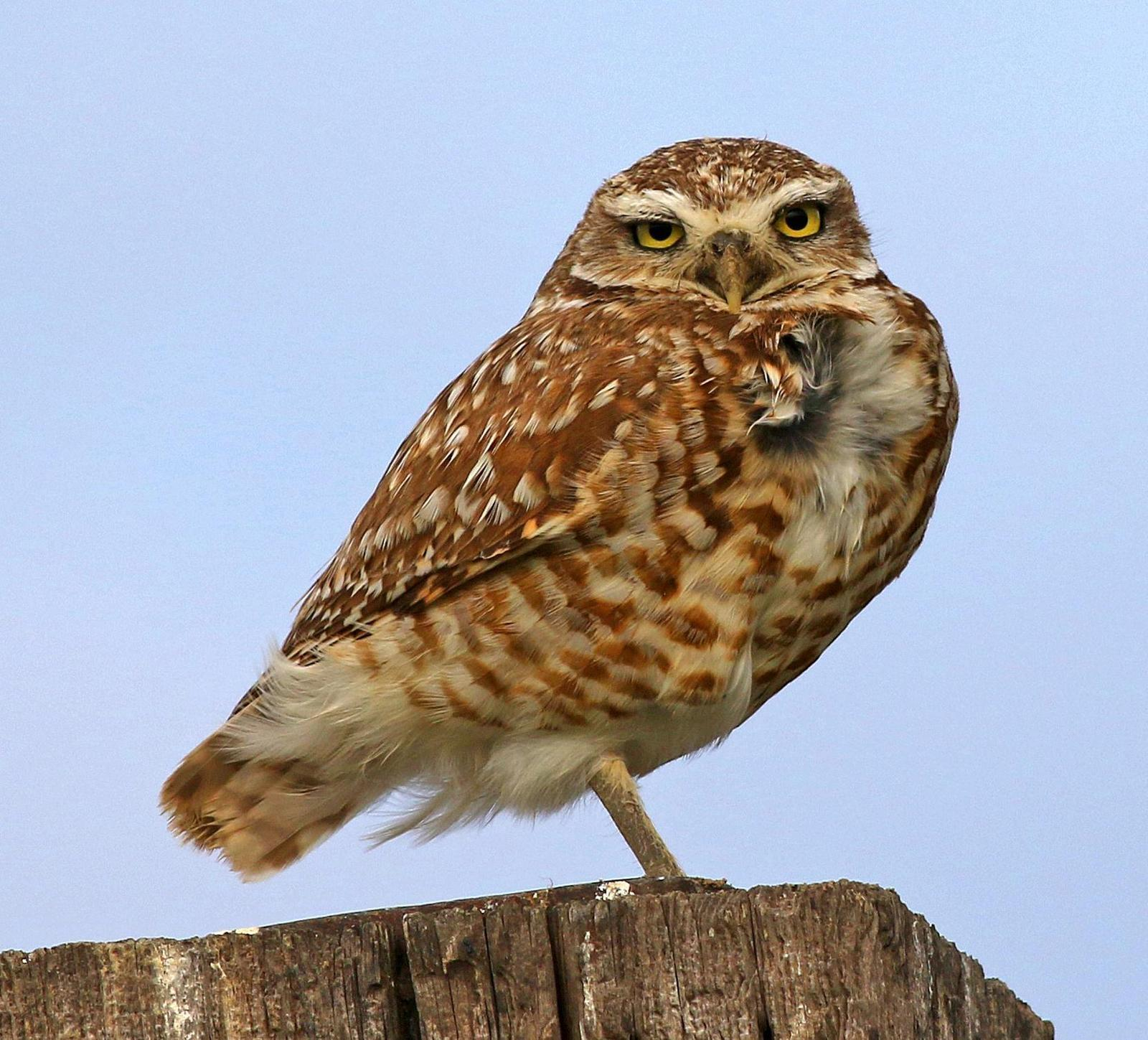 Burrowing Owl Photo by Tom Gannon