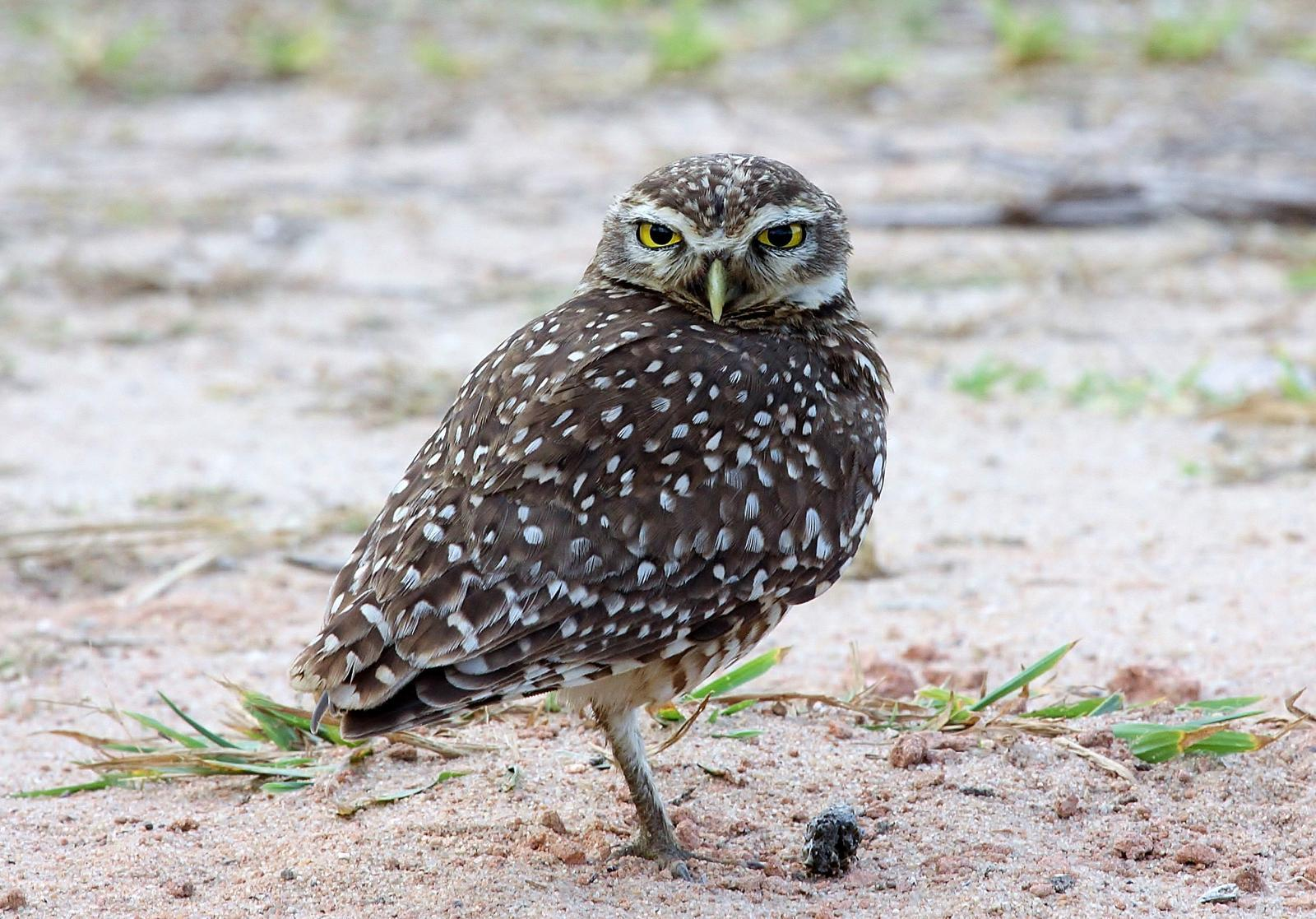 Burrowing Owl Photo by Matthew McCluskey