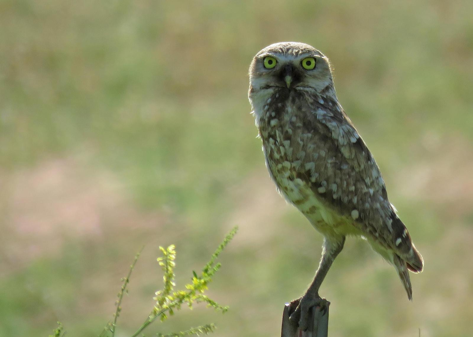 Burrowing Owl Photo by Kelly Preheim