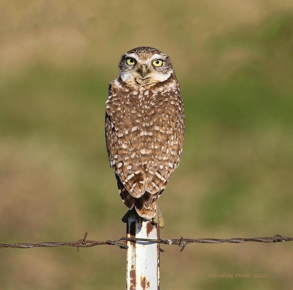 Burrowing Owl Photo by Roberto White