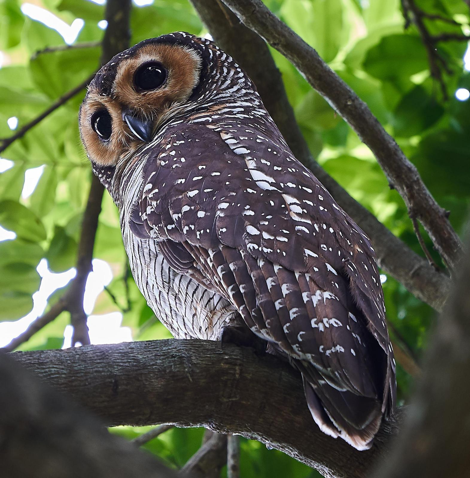Spotted Wood-Owl Photo by Steven Cheong