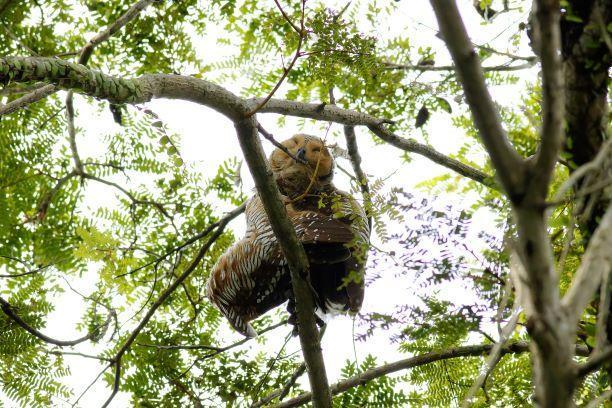 Spotted Wood-Owl Photo by Kenneth Cheong