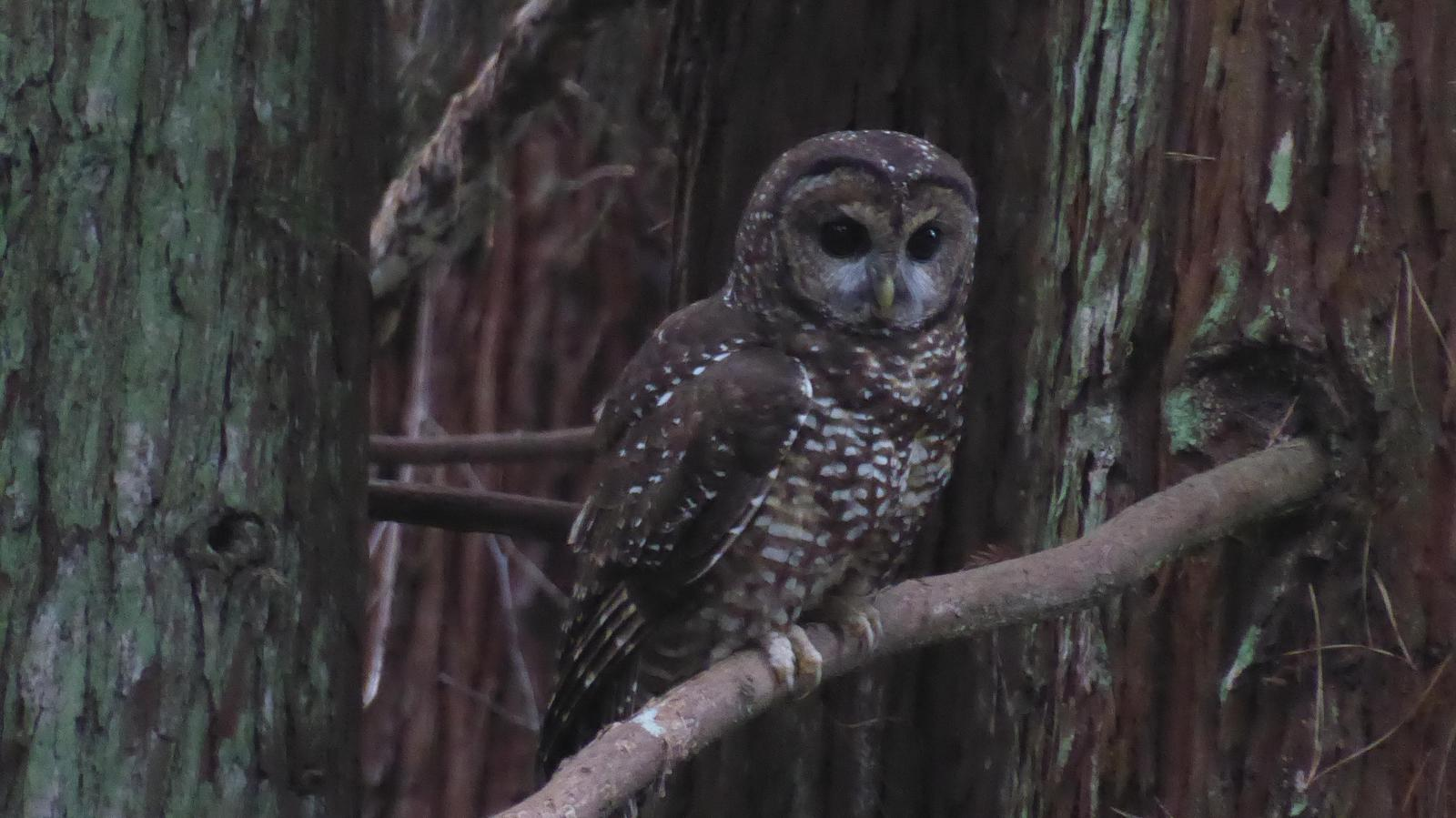 Spotted Owl Photo by Daliel Leite
