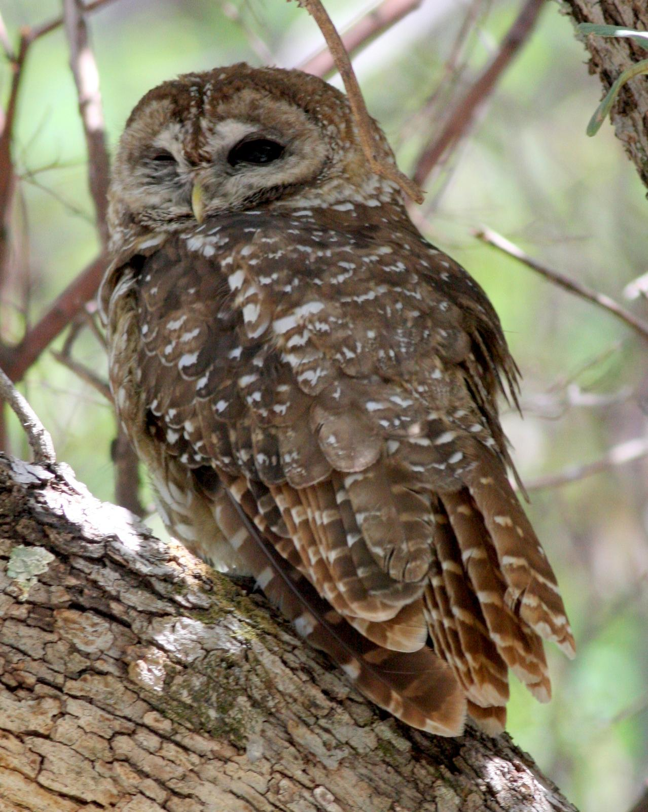 Spotted Owl Photo by Nate Swick