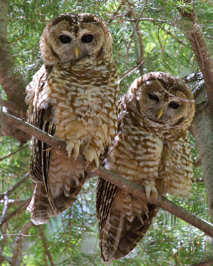 Spotted Owl Photo by Arlene Ripley