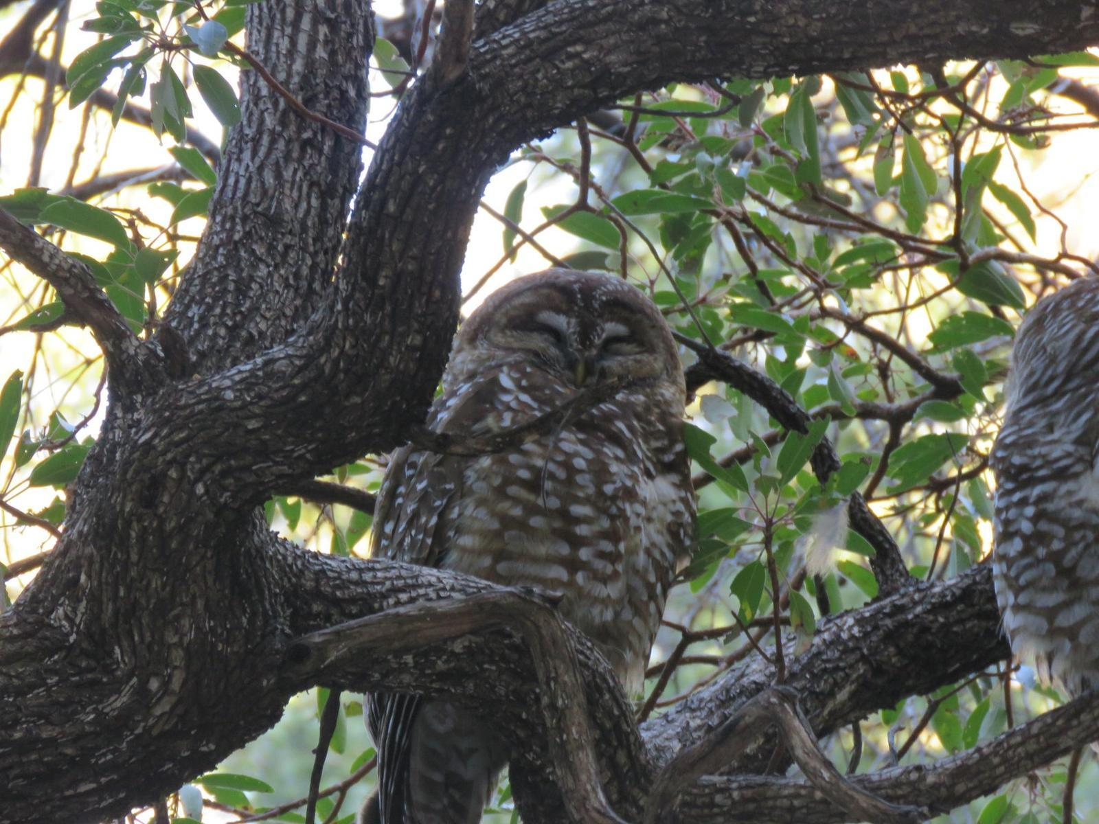 Spotted Owl Photo by Nolan Keyes