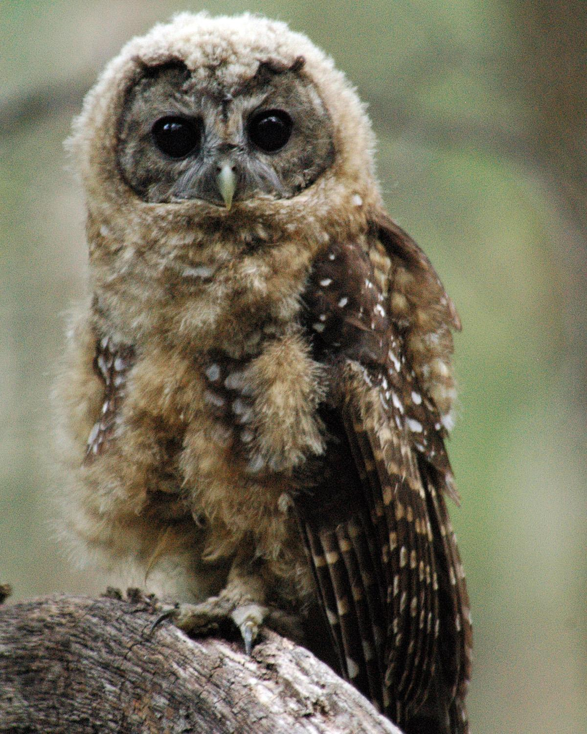 Spotted Owl Photo by Magill Weber