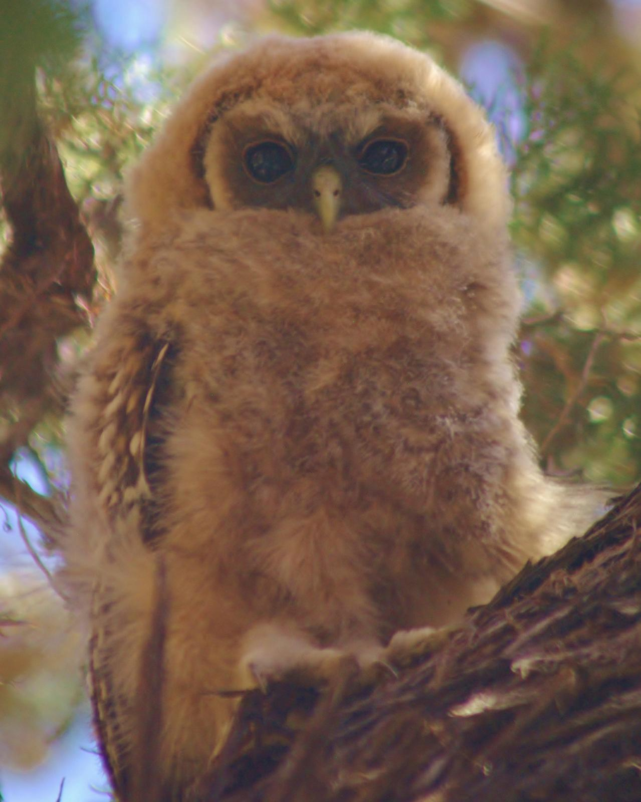 Spotted Owl Photo by Leah R. Lewis