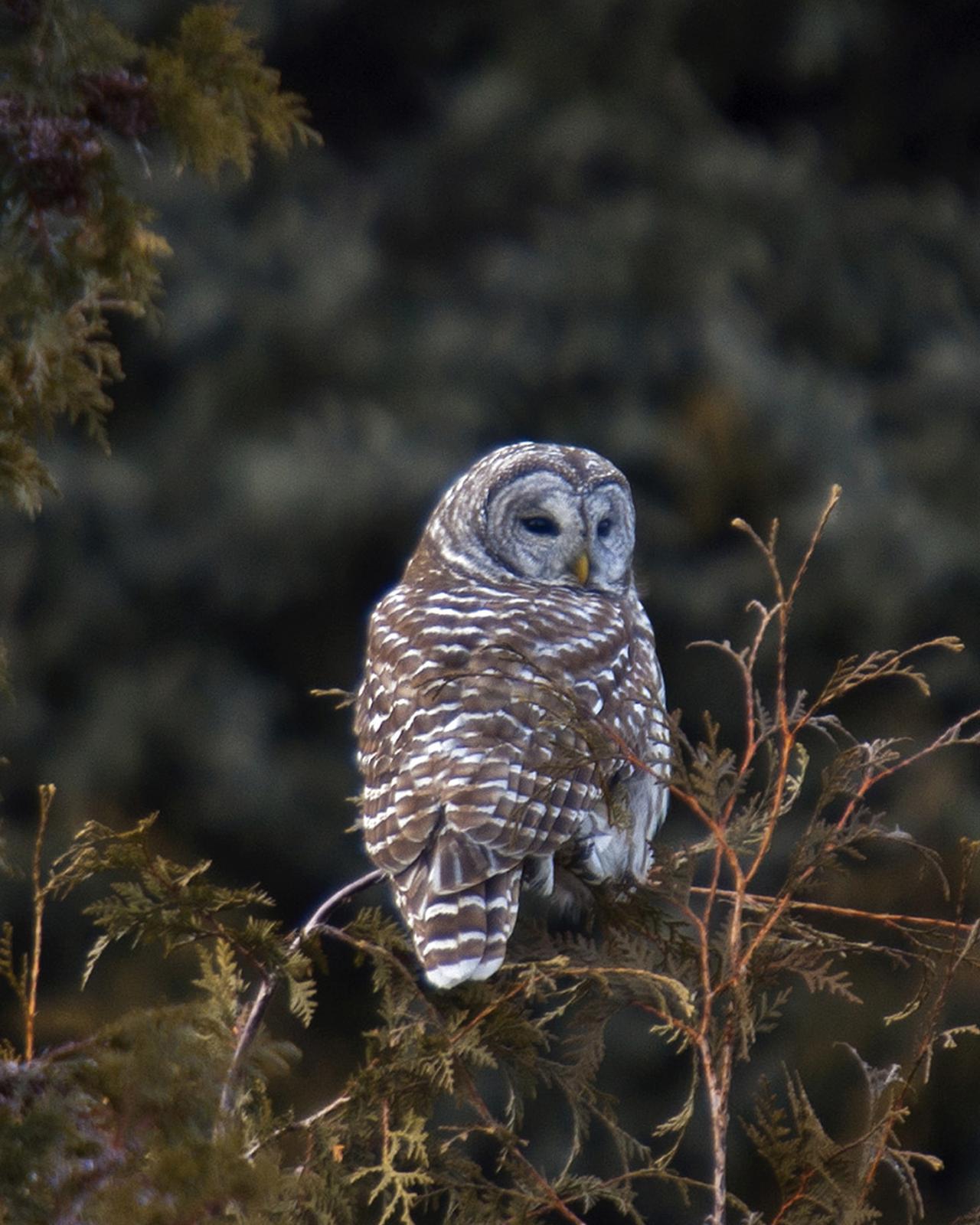 Barred Owl Photo by James Hawley